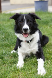 Savane, chien Border Collie