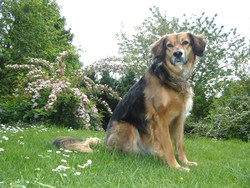 Savannah , chien