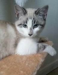 Savannah, chat Siamois