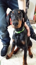 Saw, chien Dobermann