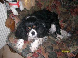 Saxo, chien Cavalier King Charles Spaniel
