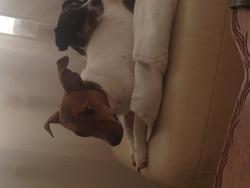Saya, chien Jack Russell Terrier