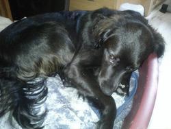 Scamp, chien Épagneul breton