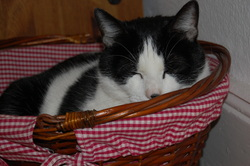 Scampi, chat Européen