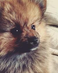 Scampi, chien Spitz allemand