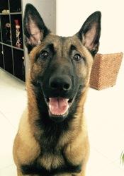 Scar, chien Berger belge