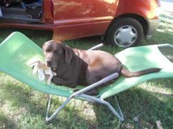Scarlet , chien Labrador Retriever