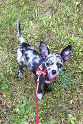 Scarlett, chien Chihuahua