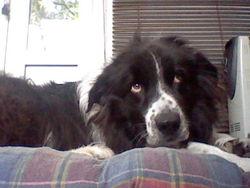 Scarlette, chien Border Collie