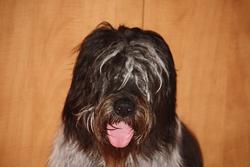 Schadoe, chien Schapendoes néerlandais