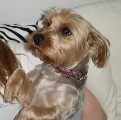 Schanna, chien Yorkshire Terrier