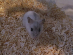Schewppes, rongeur Hamster