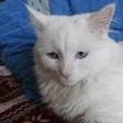 Schipie, chat Angora turc