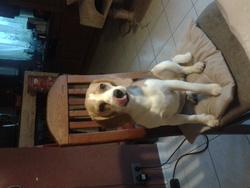 Schyna, chien Beagle