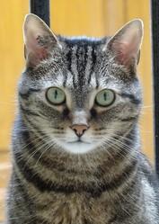 Scipion, chat Européen