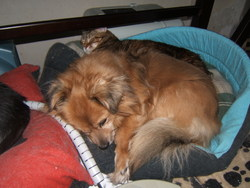 Scoob, chien Épagneul tibétain