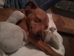 Scooby, chien Pinscher