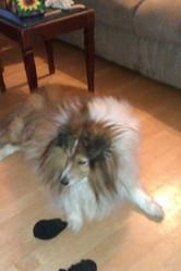 Scooby, chien Berger des Shetland