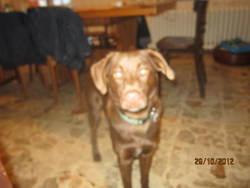 Scoobydoo, chien