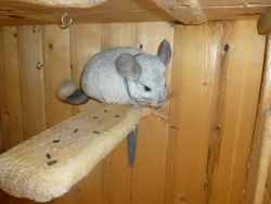 Scoobydou, rongeur Chinchilla
