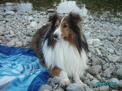 Scoop, chien Berger des Shetland