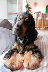 Scoop, chien Cocker anglais