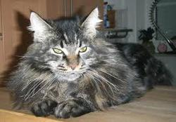 Scorpio, chat Maine Coon