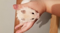 Scotch, rongeur Hamster