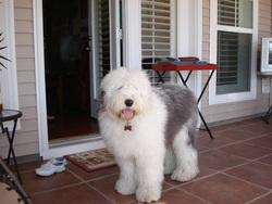 Scotch, chien Bobtail