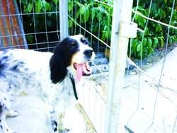 Scott, chien Setter anglais