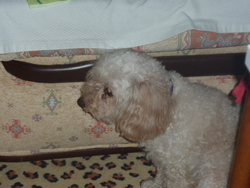 Scott, chien Caniche