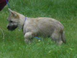 Scott, chien Cairn Terrier