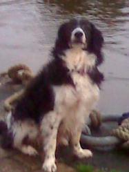 Scott, chien Border Collie