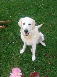 Scott, chien Golden Retriever