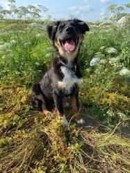 Scottie, chien Pinscher