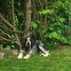 Scotty, chien Bleu de Gascogne