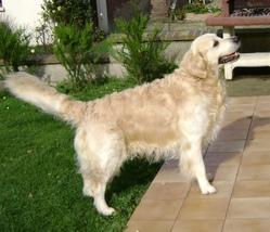 Scotty, chien Golden Retriever