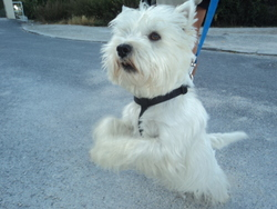 Scotty, chien West Highland White Terrier