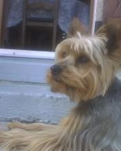 Scotty, chien Yorkshire Terrier