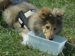 Scotty, chien Berger des Shetland