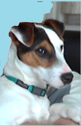 Scotty, chien Jack Russell Terrier