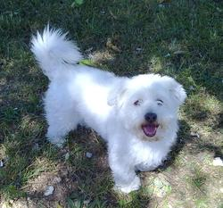 Scotty, chien Coton de Tuléar