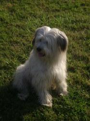 Scoubi, chien Berger des Pyrénées