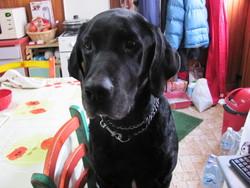 Scoubi-Dou, chien Labrador Retriever