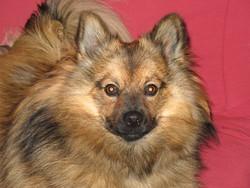 Scoubi, chien Spitz allemand
