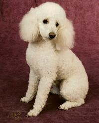 Scoubidou, chien Caniche