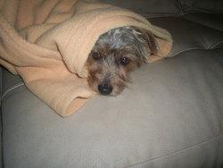 Scoubidou, chien Yorkshire Terrier