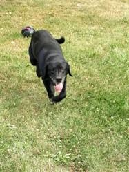 Scoubidou, chien Labrador Retriever