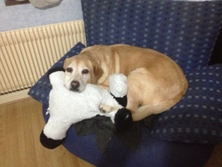 Scoubidou Dit Papy Scoub, chien Labrador Retriever