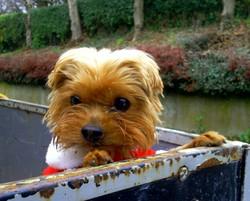 Scouby-Doo, chien Yorkshire Terrier